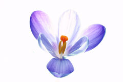 Pure crocus flower. Crocus flower Royalty Free Stock Photos