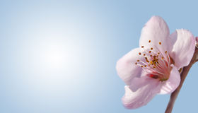 Pure, delicate peach blossom on gradient blue. Background, a business card design with a green nature concept Royalty Free Stock Images