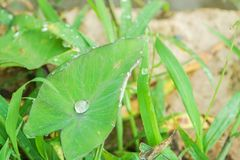 Pure dew on green leaf. In forest Royalty Free Stock Image