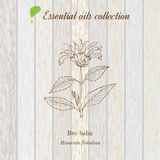 Pure essential oil collection, bee balm. Wooden texture background. Vector illustration Stock Photo