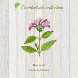 Pure essential oil collection, bee balm. Wooden texture background. Vector illustration Royalty Free Stock Photos