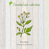 Pure essential oil collection, feverfew. Wooden texture background. Vector illustration Stock Photo