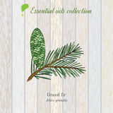 Pure essential oil collection, grand fir. Wooden texture background. Vector illustration Stock Photos