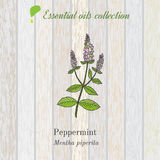 Pure essential oil collection, peppermint. Wooden texture background Royalty Free Stock Photo