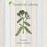 Pure essential oil collection, yarrow. Wooden texture background Royalty Free Stock Images