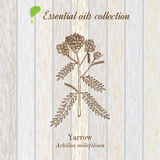 Pure essential oil collection, yarrow. Wooden texture background Stock Photo