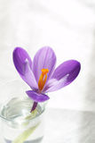 Pure flower. Crocus flower in a glass of water with a white backround Royalty Free Stock Photography