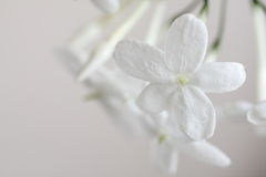 Pure fragrance. Delicate white jasminum flowers, shallow focus Stock Photo