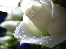 Pure and Fresh. Water droplets on the petals of a white rose stock photos