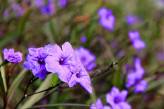 Pure and fresh and beautiful blue grass. Gardening flowers, blue grass, blooming purple petals, green leaves, beautiful landscape Stock Image