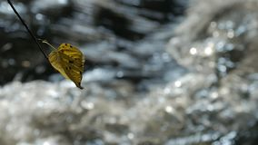 Pure freshwater stream in the deciduous forest in autumn. Tree branch with leaf in water background. Zoom stock footage