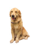Pure Golden Retriever Stock Photography