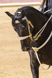 Pure horse race docile and obedient. Beautiful horse of pure breed docile and obedient Stock Images