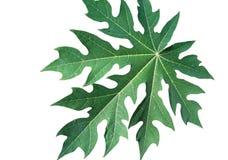 Papaya leaf Royalty Free Stock Image