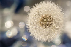 Pure lightness, dandelion and bokeh Stock Photos