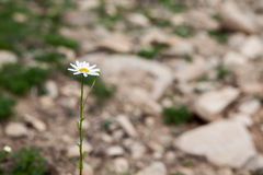 Pure little daisy. Amazing white and pure daisy Stock Photos