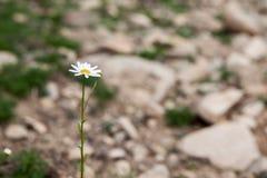 Pure little daisy Stock Photos