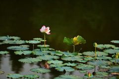 Pure Lotus Flower at river with warm dawn sunlight. stock photos