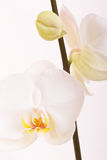 Pure love. White orchid on the white background Stock Photo
