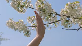Woman Hand Tenderly Touches The Blooming White Flowers Of The Apple Tree. Pure natural beauty of soft hands. Close-up of female hand tenderly touching white stock video footage