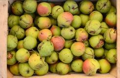 Pure organic rare variety pear Royalty Free Stock Photography