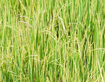 Pure paddy field Royalty Free Stock Photos