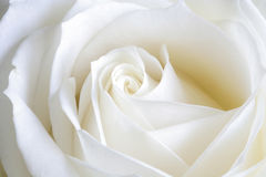 Pure perfection. Image of white rose captured in natural light Stock Photos