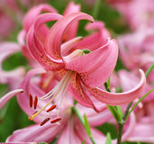 Pure pink lily. Flower from garden beautiful royalty free stock image