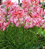 Pure pink lily. Flower from garden beautiful royalty free stock photos