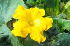 Pure pumpkin flower Stock Image