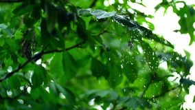 Pure rain water is poured on the fresh trees leaves in summer forest, with beautiful bokeh.  stock video