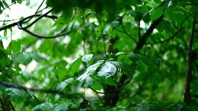 Pure rain water is poured on the fresh trees leaves in summer forest, with beautiful bokeh.  stock video footage