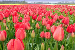 Pure Red Tulips Bulb Field Stock Images