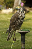 Pure Saker Falcon. The Saker is a very large mainly migratory falcon. Known as the National bird of Hungary Royalty Free Stock Photos