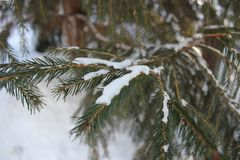Pure snow on the branches of spruce royalty free stock images