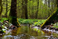 Pure stream in old forest. royalty free stock photo