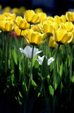 Pure Tulips in New england Royalty Free Stock Photography