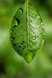 pure Water drops on green leaf stock image