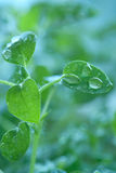 Pure water drops on green leaf Stock Photo