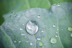 Pure water rain drops on green leaf with venation zen background macro Royalty Free Stock Image