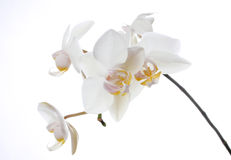 Pure white. Isolated orchid Royalty Free Stock Photos