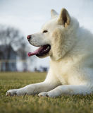 Pure white Akita Inu dog. Lying on grass Royalty Free Stock Photography