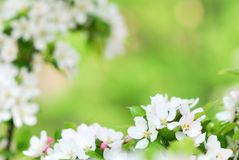 Pure white apple tree blossoms blooming in springtime Stock Photography