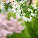 Pure white blossoms of an apple tree in spring Royalty Free Stock Photography