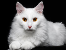 Pure white cat on the black background. Pure white cat with red eyes on the black background Stock Image