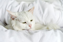 Pure white cat laying Stock Images