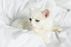 Pure white cat laying Royalty Free Stock Photo