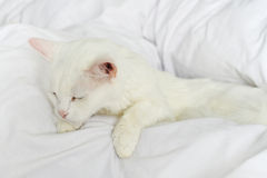 Pure white cat sleeping Royalty Free Stock Images