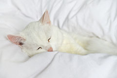Pure white cat sleeping Royalty Free Stock Image