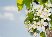 Pure white Cherry flowers in spring Stock Photos